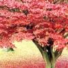Дуб червоний: опис і фото дерева