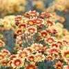 Двоколірні хризантеми осіннього балу Нікітського ботанічного саду
