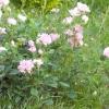 Фактори успішної зимівлі троянд