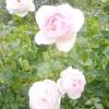 Фактори здорового росту троянд