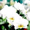 Фаленопсис гібридний / phalenopsis
