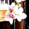 Фаленопсис гібридний: догляд за орхідеєю