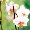 Фаленопсис гібридний: догляд