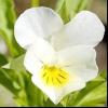 Фіалка польова (viola arvensis murr.)