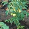 Фітофтора на кущах томатів, чи можна врятувати томати