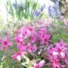 Флокси - бажані гості для будь-якого квітника!
