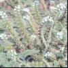 Геліотроп європейський (heliotropium europaeum l.)