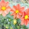 Жоржини - прикраса осінньої клумби