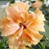 Гібіскус - китайська троянда