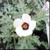 Гібіскус трійчастий, роздутий (hibiscus trionum l.)