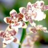 Гібридні орхідеї