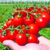 Гібриди томатів, перцю, огірків від Семко юніор