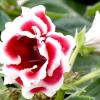 Глоксинія прекрасна / gloxinia speciosa