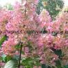 Гортензія волотисте великоквіткова