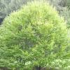Граб дерево: фото та опис