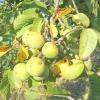Волоський горіх - дерево життя. посадка волоського горіха, вирощування і догляд