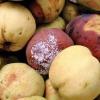 Грибні хвороби (плодові гнилі, парша) при зберіганні врожаю