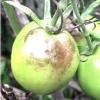 Грибні захворювання томатів