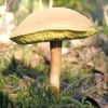 Гриби моховики: фото та опис видів і різновидів