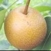 Груша грушелістная (pyrus pyrifolia)