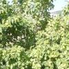 Груша лісова або дика і її сорти на фото