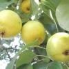Груша «лимонка» і її фото