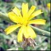 Хондрілла Ситникова (chondrilla juncea l.)