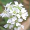 Ікотнік сірий (berteroa incana l.)