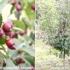 Яблуні китайки, ранетки і сибірки