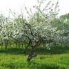 Яблуня ягідна