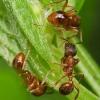 Як боротися з мурахами на плодових деревах