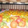 Як зберігати томати та їх дозаривание
