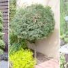 Як використовувати в саду хвойні рослини