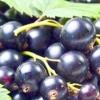 Як отримати смачну і ароматну ягоду на садовій ділянці або деякі особливості вирощування смородини