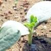 Як посадити кавун, щоб вийшли великі, солодкі плоди