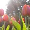 Як правильно садити тюльпани і на яку глибину їх закопувати або чому сусіди вам будуть заздрити?