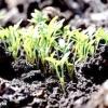 Як сіяти кріп правильно - весняний, зимовий та подзимний посів кропу
