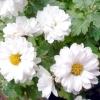 Як зберегти хризантеми до весни?