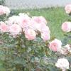 Як створити новий сорт троянди: майстер-клас