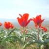 Як доглядати за тюльпанами від перших паростків до увядающих квіток