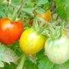 Як прискорити дозрівання помідорів