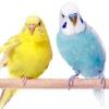 Як вибрати хвилястого папужки при покупці