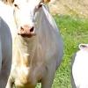 Як вилікувати мастит у корів та інші не менш неприємні захворювання - поради досвідчених ветеринарів