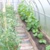Як вирощувати огірки в теплиці з полікарбонату