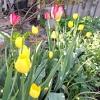 Як вирощувати тюльпани в саду. поради