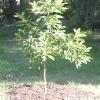 Як виростити і доглядати за авокадо: умови вирощування авокадо з кісточки