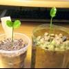 Як виростити кумкват з кісточки