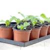 Як виростити пекінську капусту розсадою