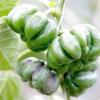 Як виростити солодкий перець в середній смузі