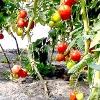 Як виростити гарбуз через розсаду